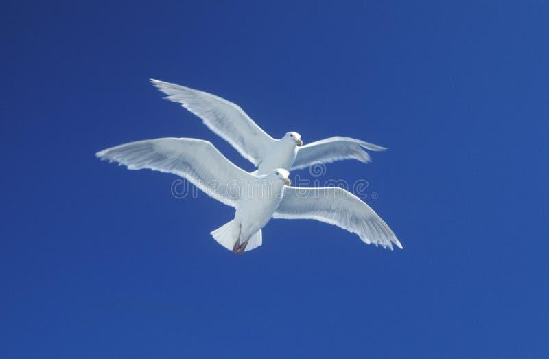 Zwei Seemöwen, die in Tandem im hellen blauen Himmel fliegen stockfoto