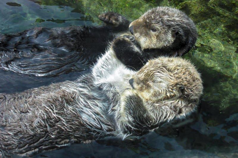 Zwei Seeotter, die Tatzen halten und auf Rückseiten schwimmen lizenzfreies stockfoto