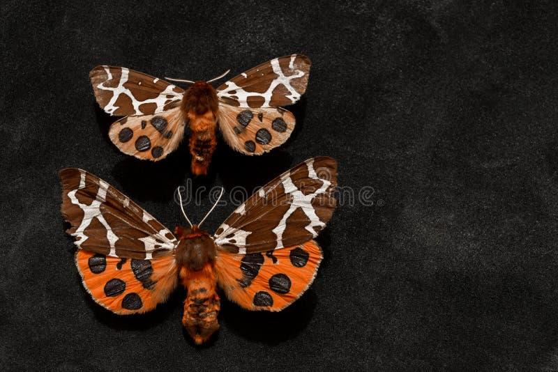 Zwei sehr alter Garten Tiger Moths lizenzfreie stockfotos