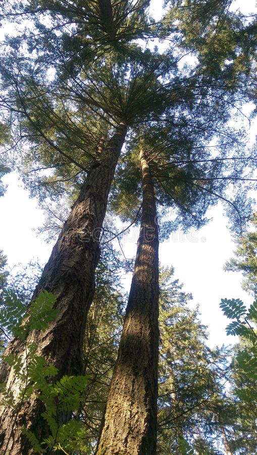 Zwei sehr hohe Bäume lizenzfreies stockfoto