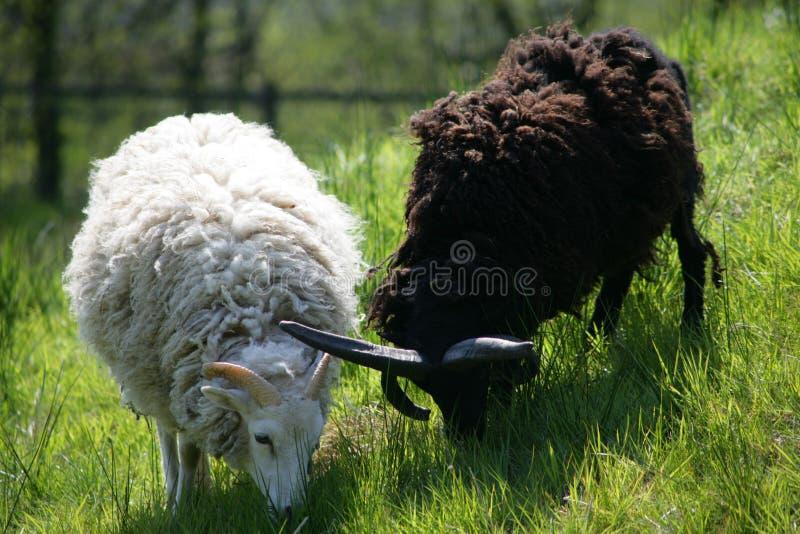 Zwei sheeps Yin u. Yang stockfotografie