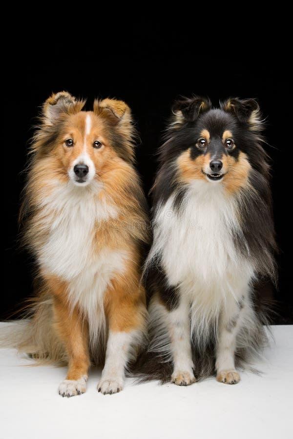 Zwei Sheltie Hunde stockbilder