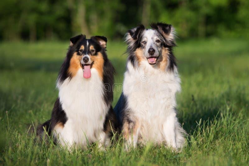 Zwei sheltie Hunde, die draußen zusammen sitzen lizenzfreie stockfotos