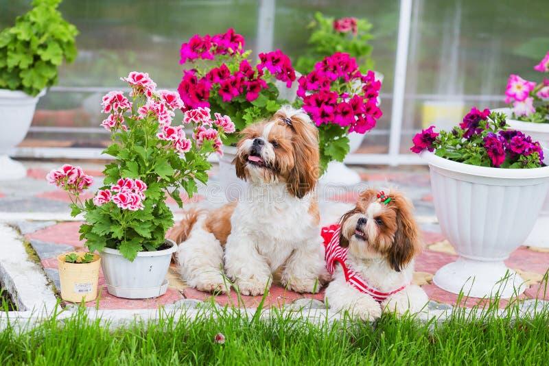 Zwei Shih Tzu-Hunde sitzen auf dem Rasen im Garten auf einem Hintergrund von Blumen stockfoto
