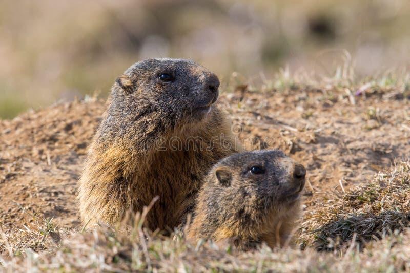 Zwei sitzendes groundhogs Marmota monax lizenzfreie stockfotos