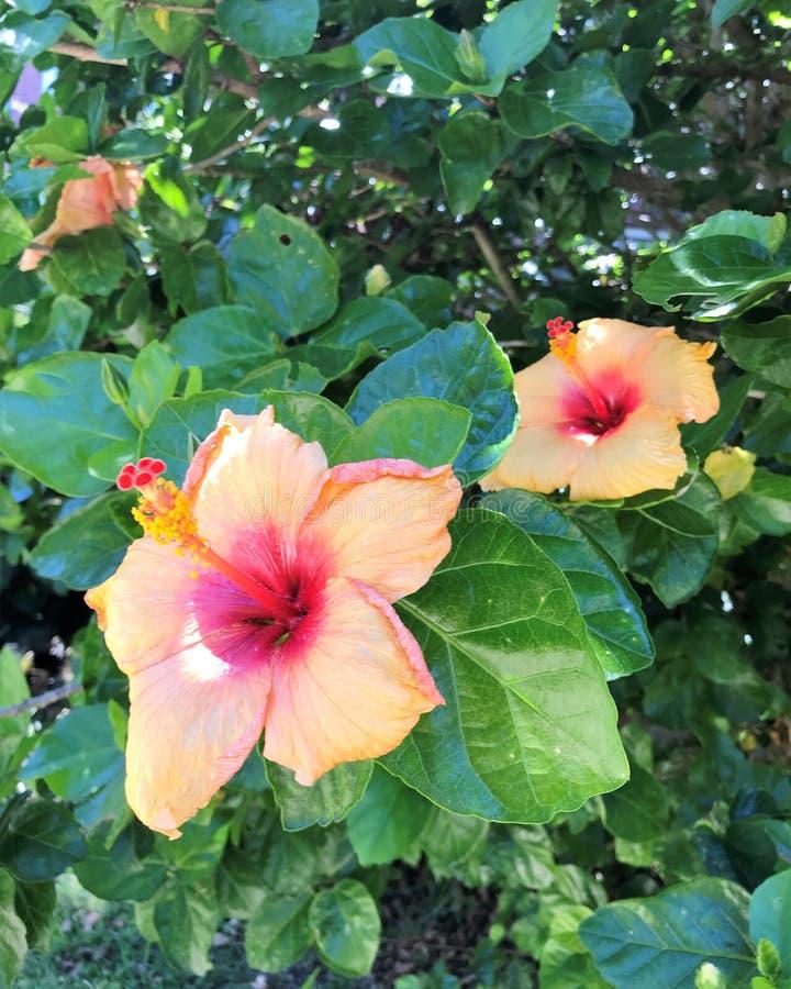 Zwei Sommerhibiscusblumen lizenzfreie stockbilder