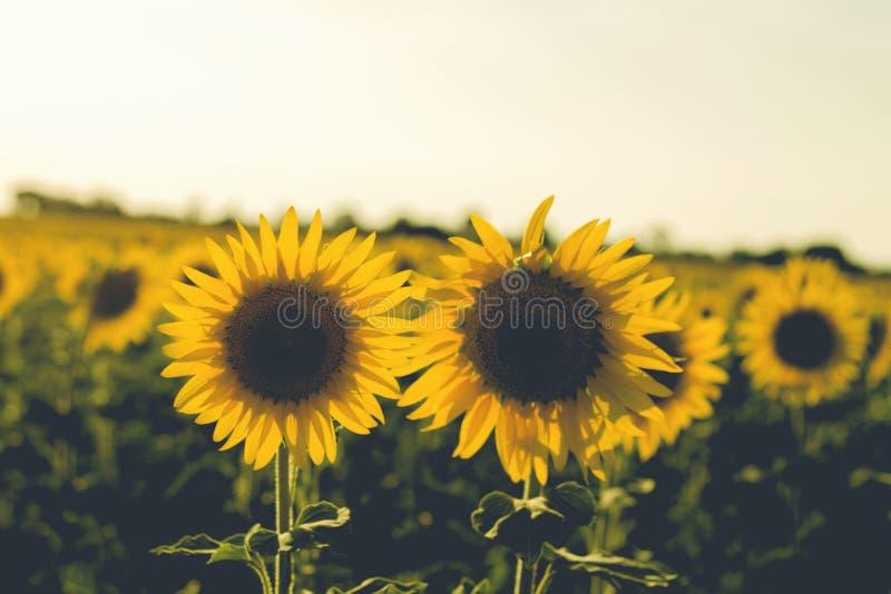 Zwei Sonnenblumen in archiviert lizenzfreie stockfotos