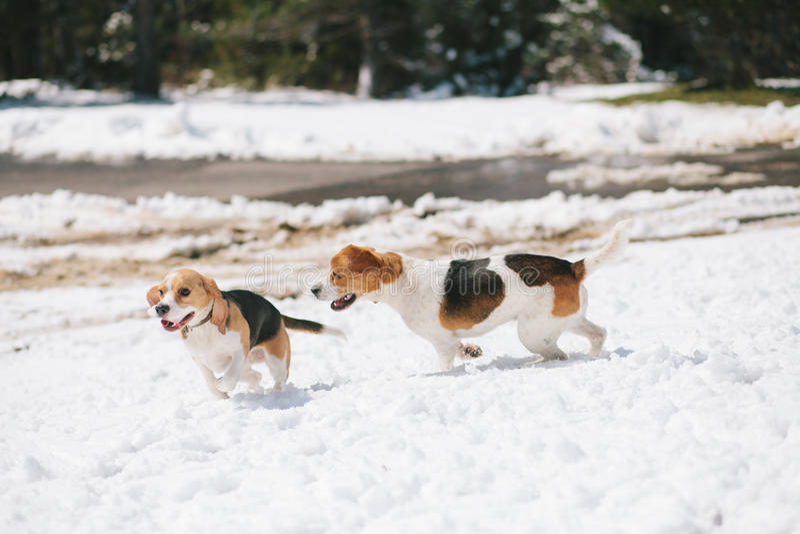 Zwei Spürhunde, die im Schnee spielen stockbild