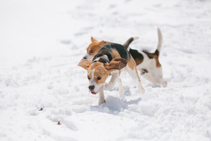Zwei Spürhunde, die in Schnee laufen stockfotografie