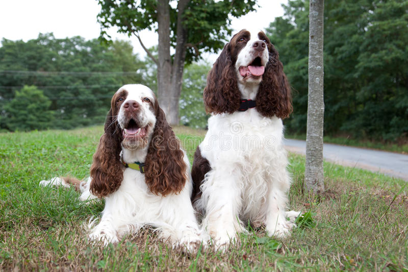 Zwei Spanielhunde stockbild