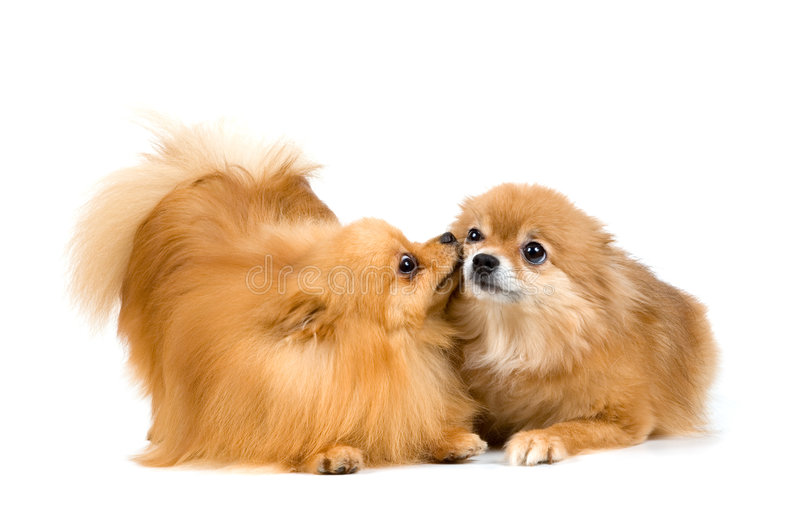 Zwei Spitzhunde im Studio lizenzfreie stockbilder