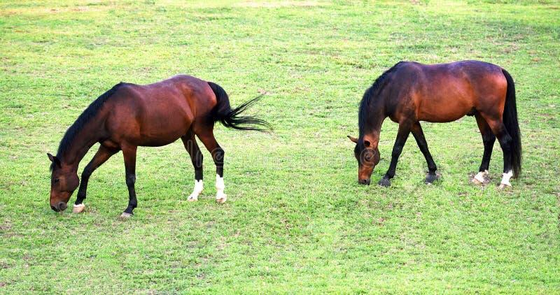 Zwei springende Pferde, die in eine grüne Weide einziehen stockbilder