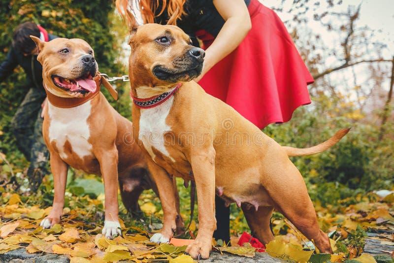 Zwei Staffordshire-Terrier Hunde in der Natur mit dem Eigentümer lizenzfreie stockfotos