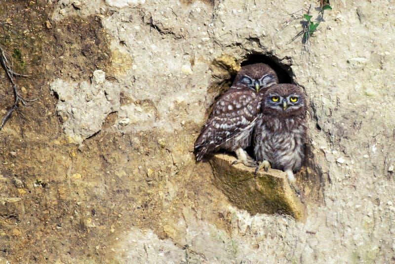 Zwei Steinkäuze Athene Noctua, der aus dem Loch in seiner Karriere heraus späht stockbilder