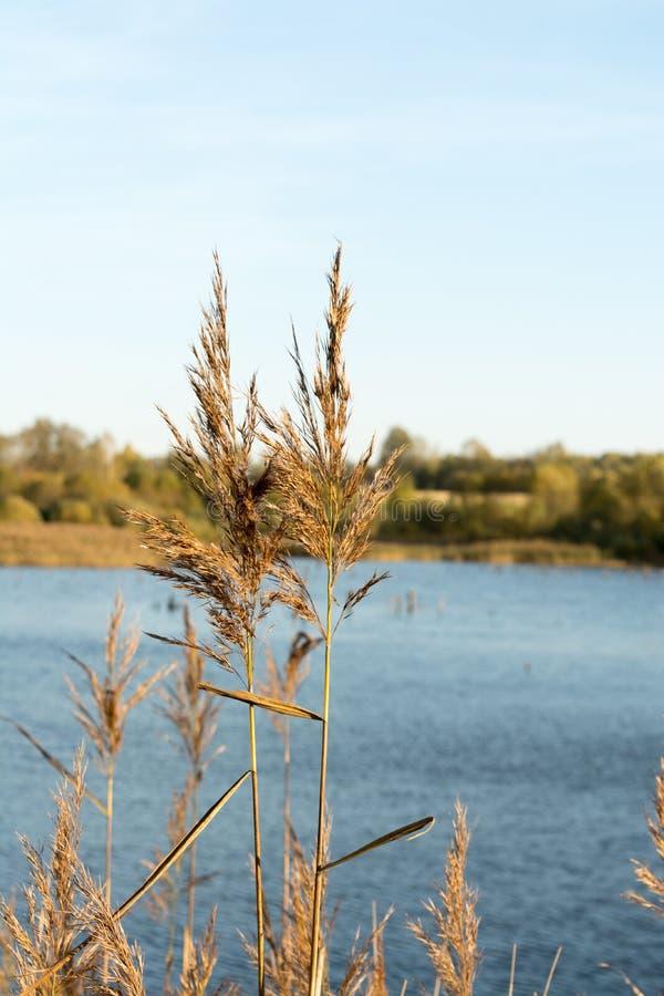 Zwei Stiele trockenes Gras vor dem hintergrund eines Sees, Nahaufnahme abstrakt Naturhintergrund stockfoto