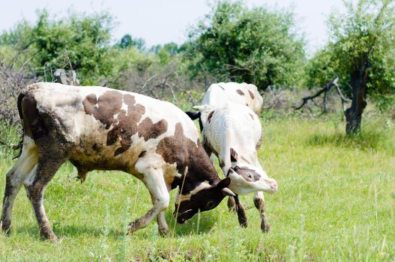 Zwei Stiere Fighting auf Hintergrund des Sommergrüns draußen stockfotos