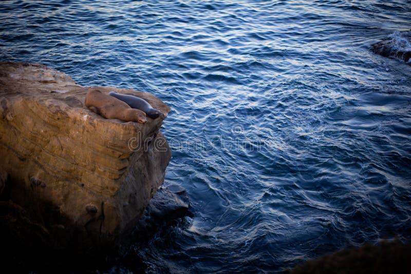Zwei stillstehende Seelöwen auf dem Felsen stockfotos