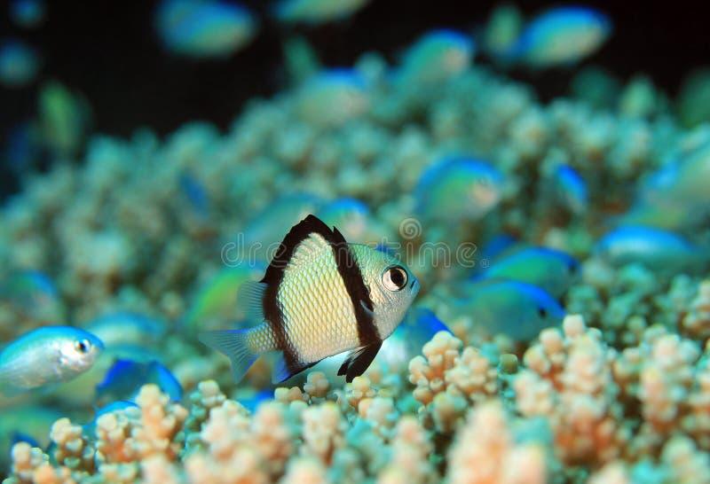 Zwei-Streifen Maid auf Coral Reef stockfoto
