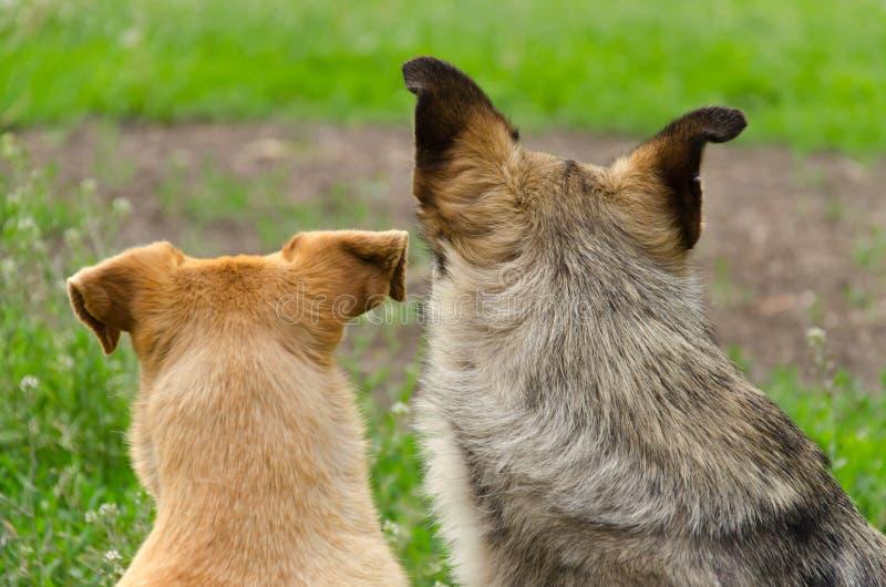 Zwei Streuhunde stockfoto
