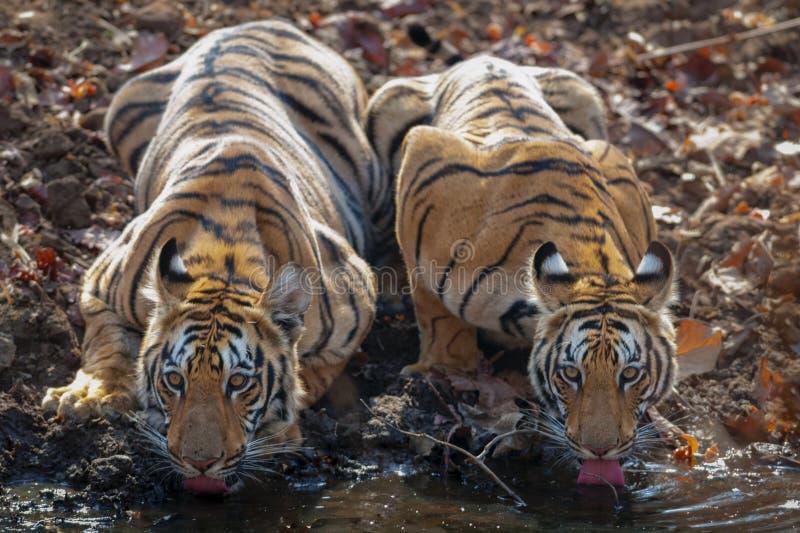 Zwei subadult Tiger, die Wasser bei Waterhole driking sind stockbild