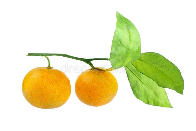 Zwei Tangerinen auf einer Niederlassung mit grünen Blättern auf einer weißer Hintergrund lokalisierten Nahaufnahme stockbild