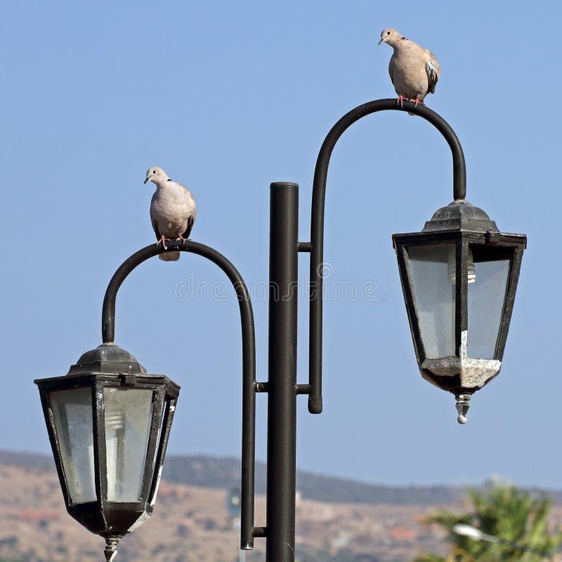 Zwei Tauben stockfotografie
