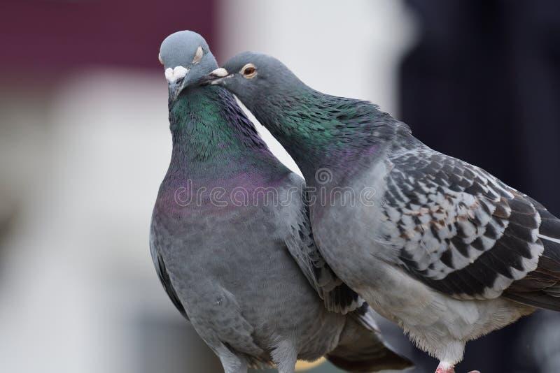 Zwei Tauben, die sich putzen stockfotografie