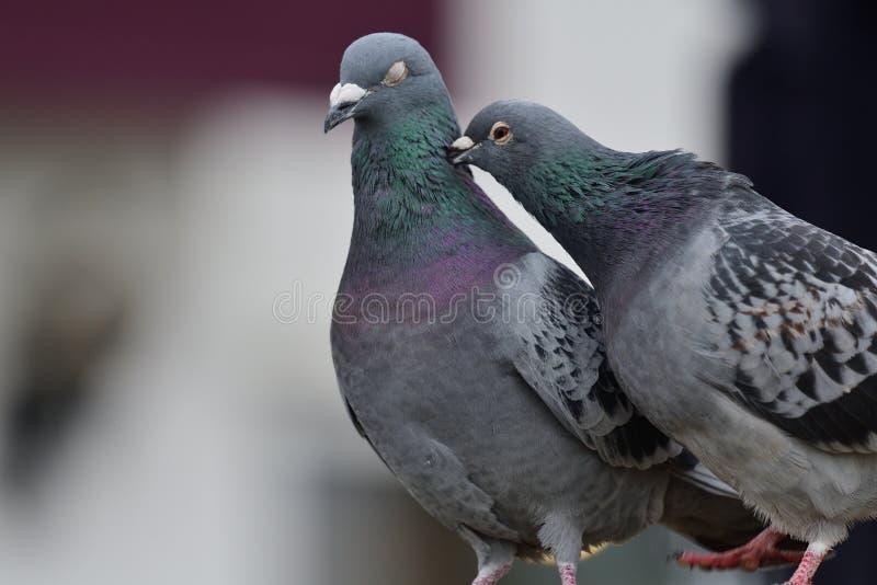 Zwei Tauben, die sich putzen stockbilder