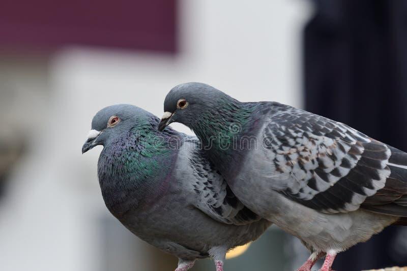 Zwei Tauben, die sich putzen stockfoto