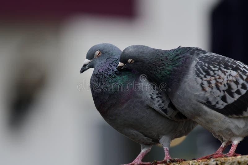 Zwei Tauben, die sich putzen stockbild