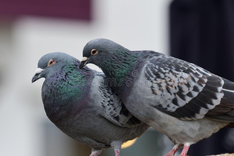 Zwei Tauben, die sich putzen lizenzfreies stockfoto