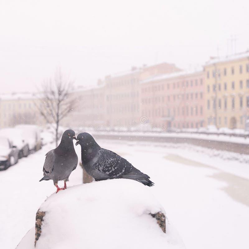 Zwei Tauben, die zusammen an einem Wintertag sitzen lizenzfreie stockbilder