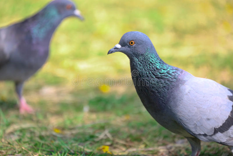 Zwei Tauben sind Freund lizenzfreie stockbilder