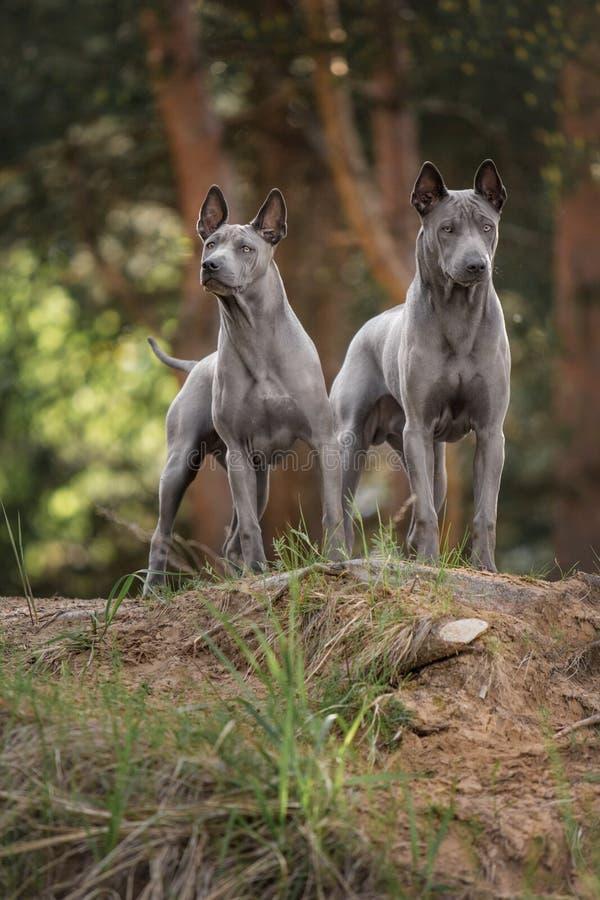 Zwei thailändischer Ridgeback Hund, der auf dem Wald bleibt lizenzfreie stockfotografie
