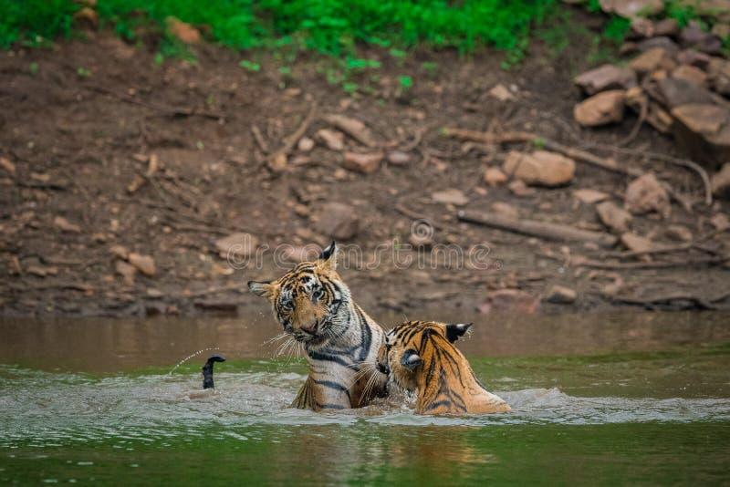 Zwei Tiger, die in einem Seewasser mit Spritzen k?mpfen und spielen stockfoto