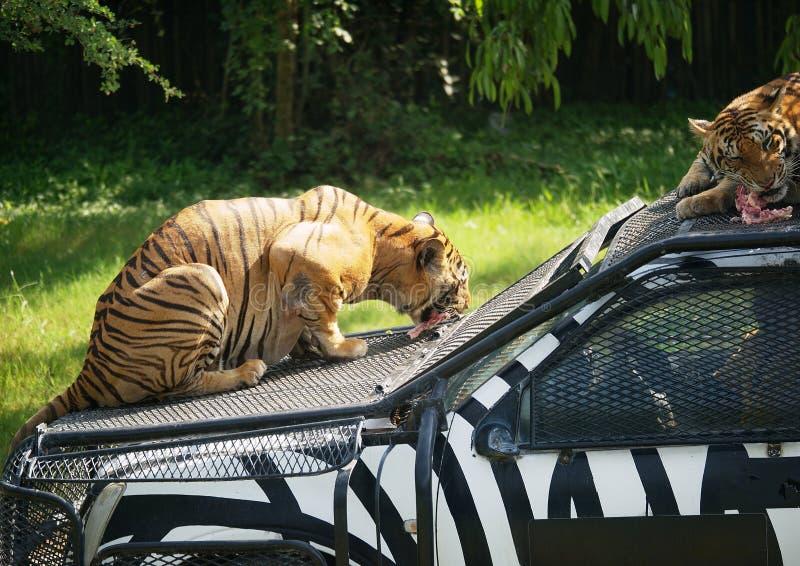 Zwei Tiger, die Fleisch essen stockfotos