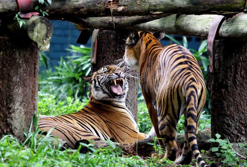 Zwei Tiger spielen im Zoo Malaysia lizenzfreie stockfotografie