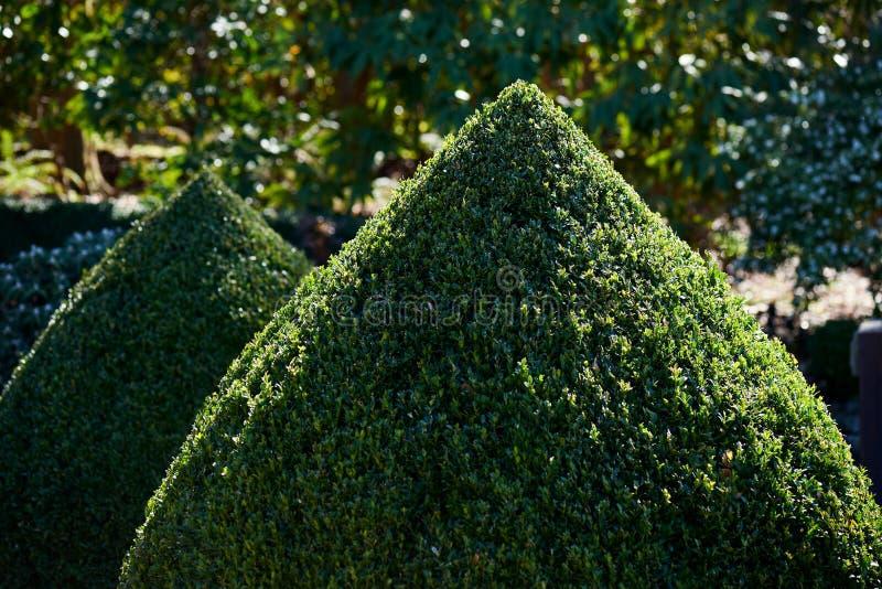 Zwei Topiary Buxuskegel schließen oben draußen in einem Garten stockfoto