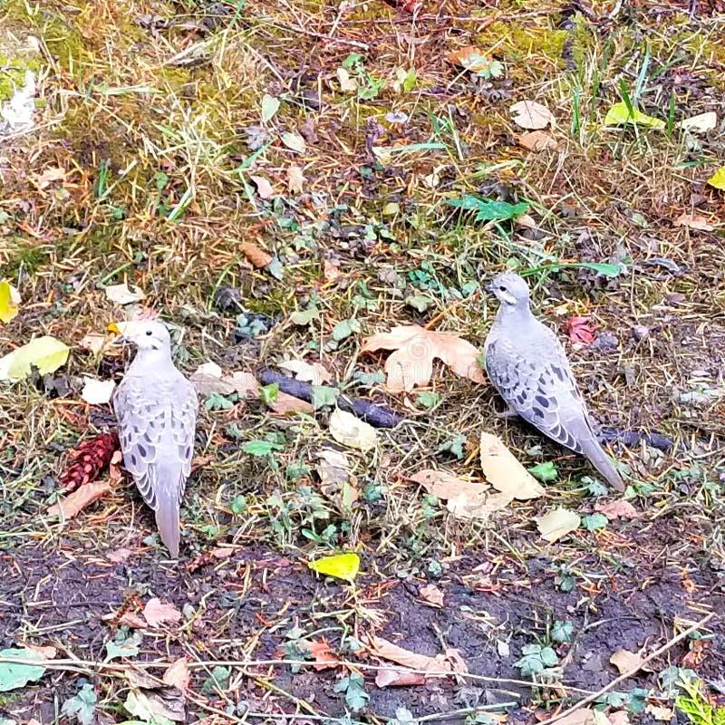 Zwei Trauer-Tauben stockfotos