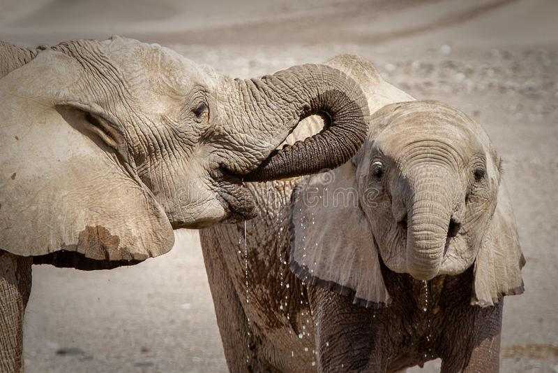 Zwei trinkende Wüstenelefanten lizenzfreies stockbild