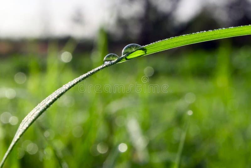 Zwei Tropfen des Taus früh morgens auf einem grünen Gras auf einem unscharfen Hintergrund stockfotos