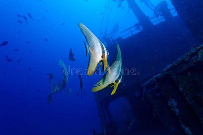 Zwei tropische Fische und Schiffswrack stockbild