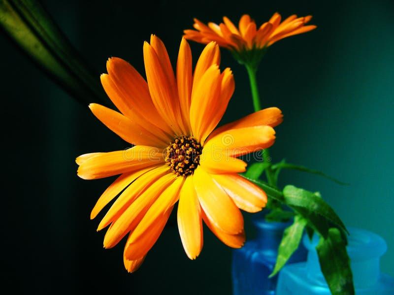 Zwei ultra helle Calendula-Blumen lizenzfreies stockfoto