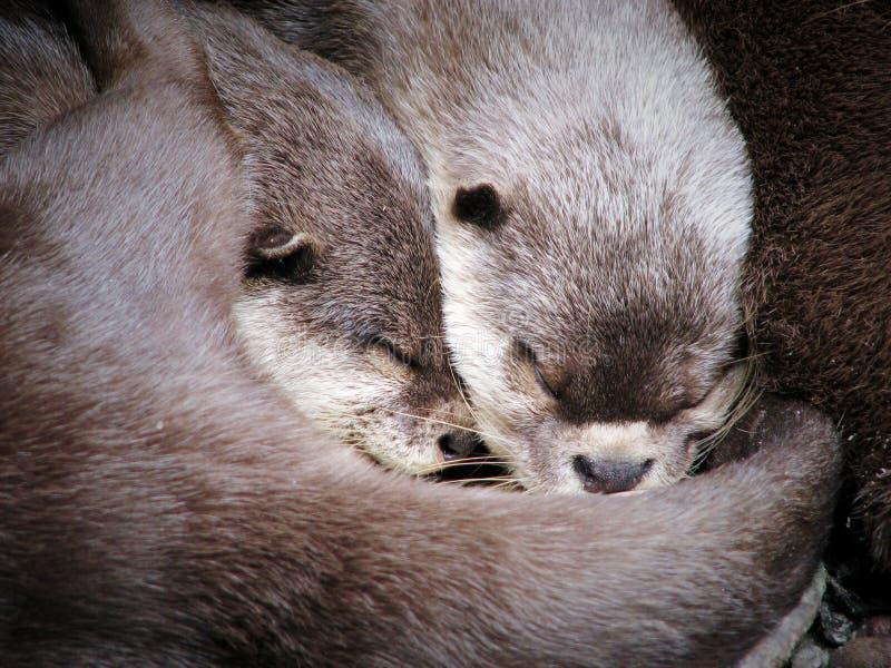 Zwei umarmende Otter beim Schlafen stockbild
