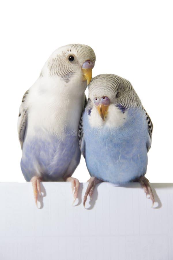Zwei Vögel sind auf einem weißen Hintergrund stockbild