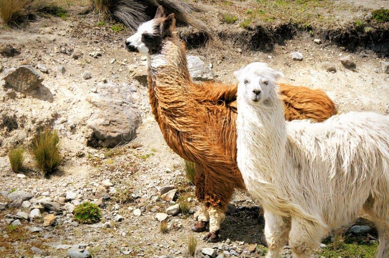 Zwei verschiedene farbige Guanacos mit langem Pelz stockfoto