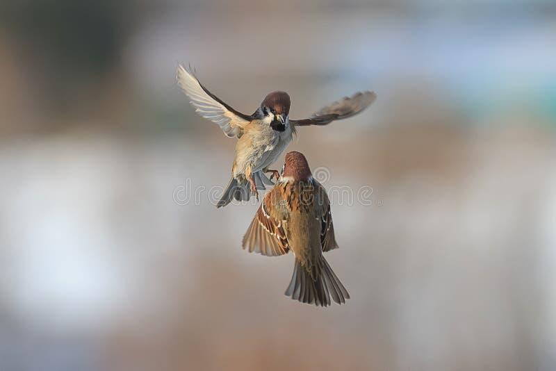 Zwei Vogelspatzen, die in die Luft fliegen lizenzfreie stockfotos