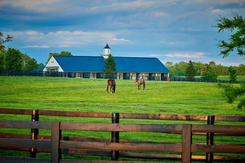 Zwei vollblütige Pferde, die auf einem Gebiet weiden lassen stockfotos