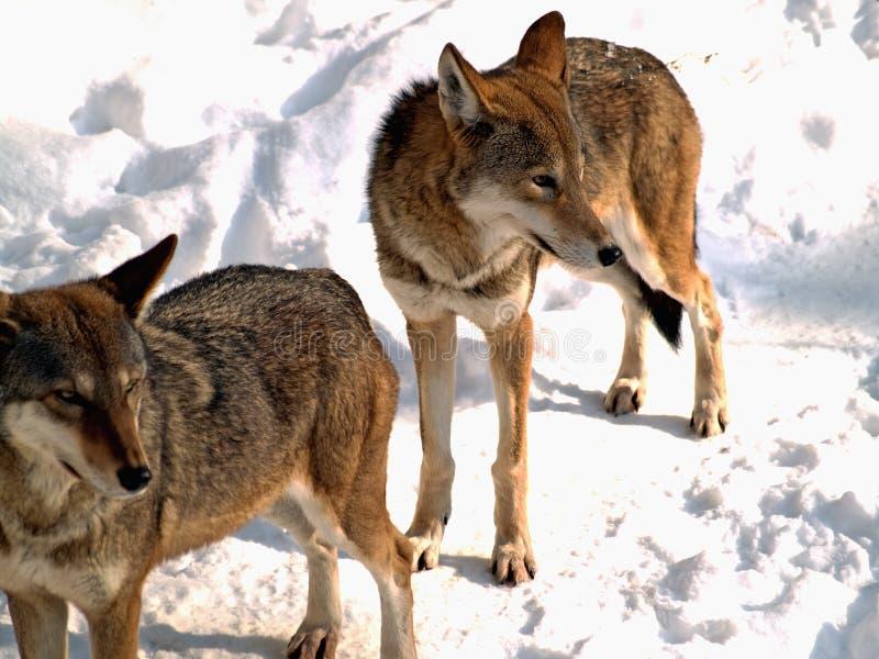 Zwei Wölfe lizenzfreies stockbild