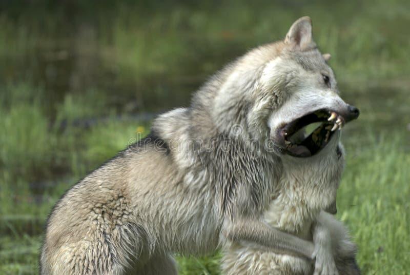 Zwei Wölfe lizenzfreies stockfoto